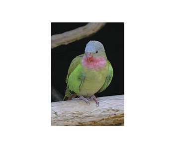 dobra - Lambe Autoadesivo - The colourful princess parrot